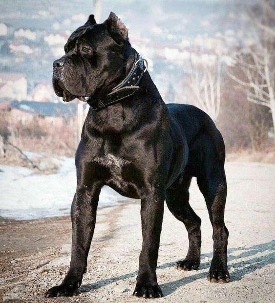 كلب كين كورسو