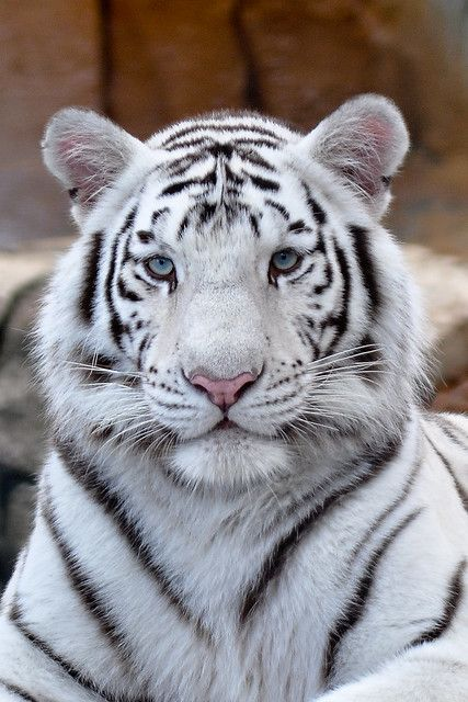 نمر بنغال أبيض اللون