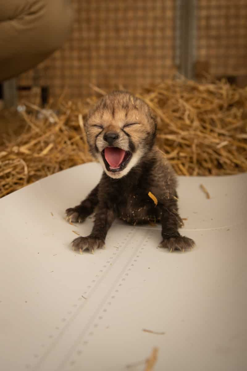 شبل الفهد