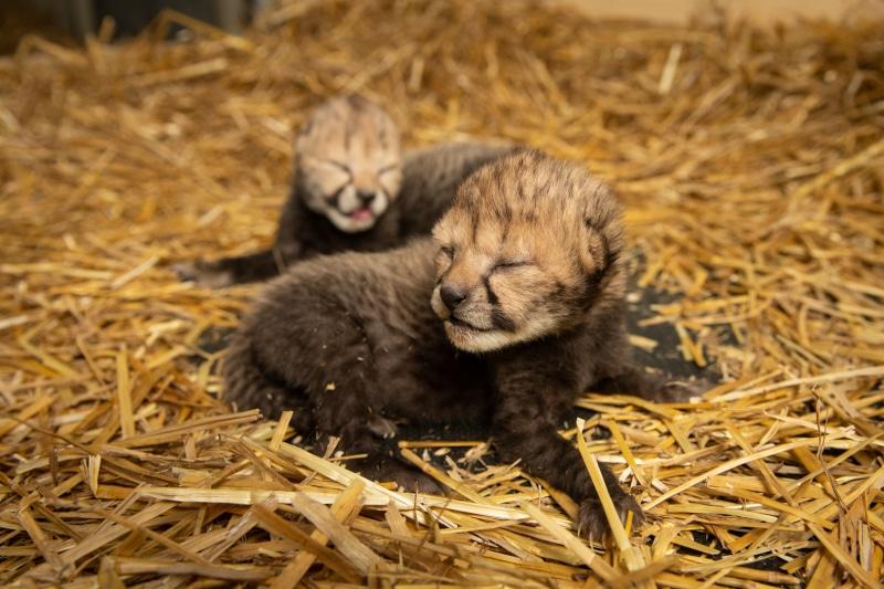 اشبال حيوان الفهد