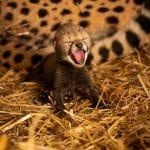 أولاد الفهود في حديقة حيوان كولومبوس وحديقة الأسماك يولدون لأول مرة على الإطلاق عن طريق الإخصاب في المختبر ونقل الأجنة