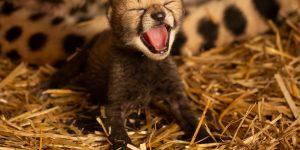 لأول مرة صغير الفهد يولد عن طريق الإخصاب في المختبر