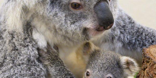 دب الكوالا المهدد بالانقراض