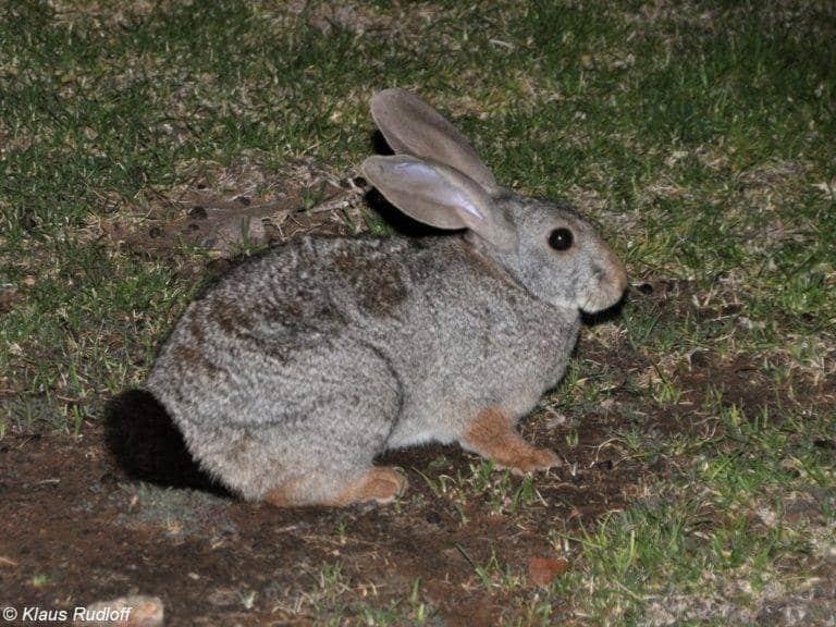 أرنب الزنجبيل