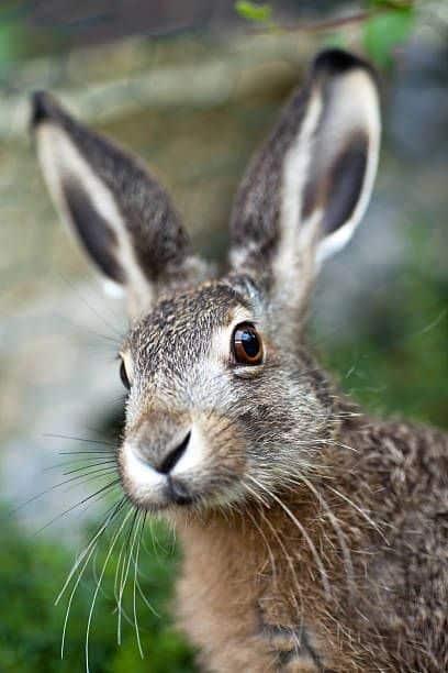 أرنب بري