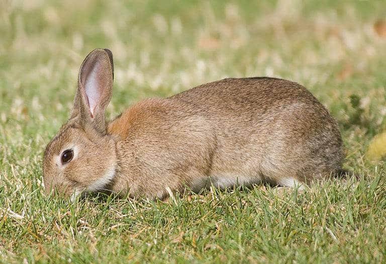 الأرنب الأوروبي