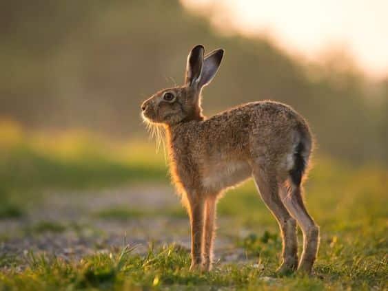 الأرنب البريفي الغابة