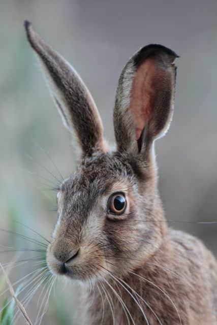 الأرنب البري