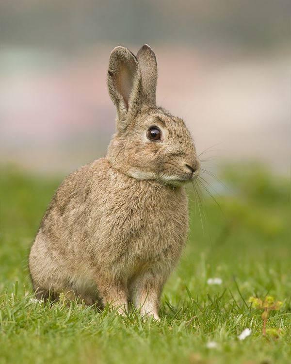 الأرنب البرّي