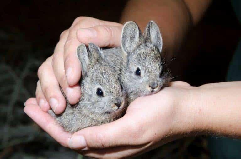 الأرنب-القزم