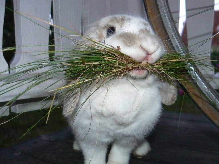 تغذية أرنب