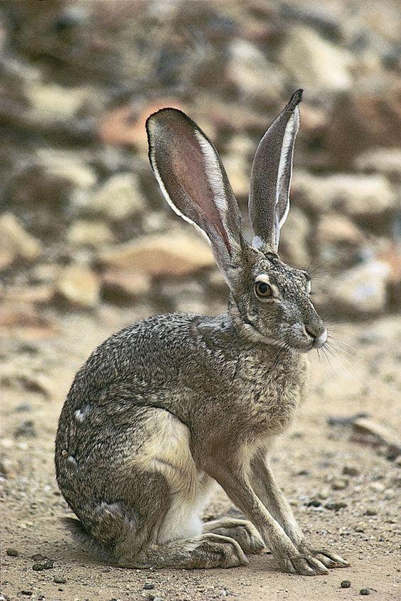 حيوان الأرنب البري