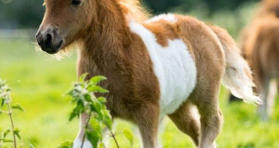 معلومات عن حصان البوني