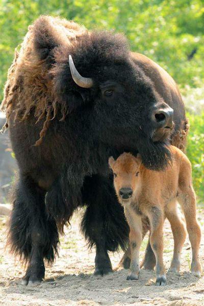 حيوان البيسون مع صغيره