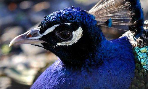 معلومات عن الطاووس الأزرق