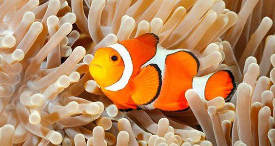 معلومات عن سمكة المهرج
