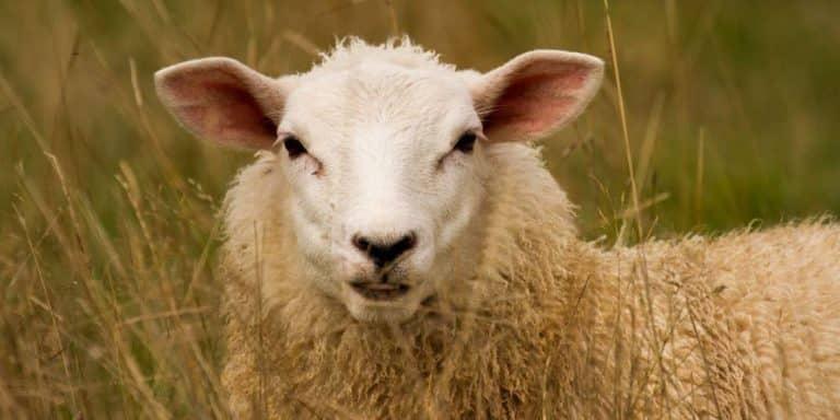 صورة خروف