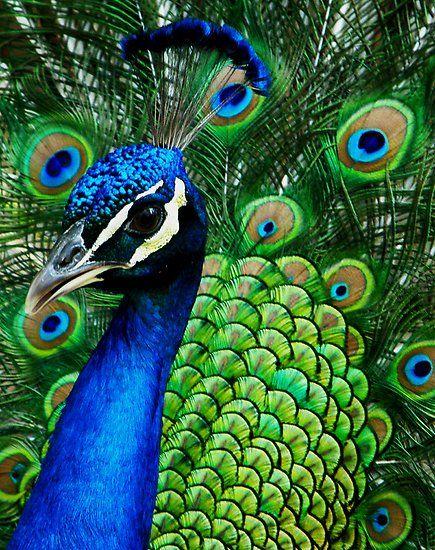 طائر الطاووس الازرق