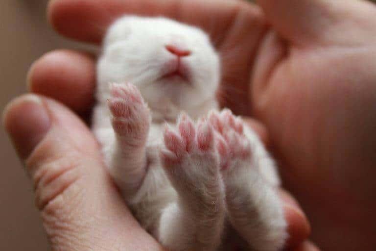 طفل الأرنب