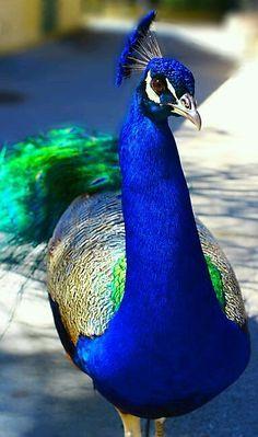 طيور الطاووس