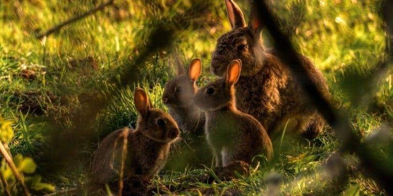 عائلة الأرانب