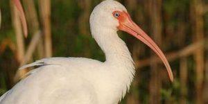 إيبيس (Threskiornithidae) - الحيوانات - الحيوانات AZ