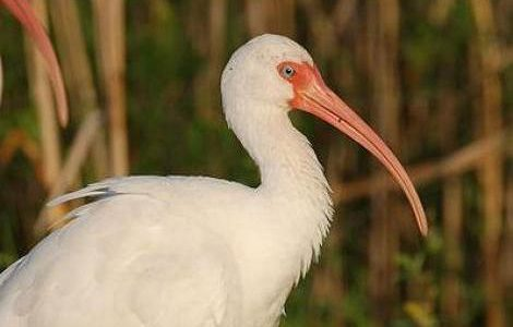 طائر أبو منجليات (Threskiornithidae) – الطيور – طائر أبو منجل