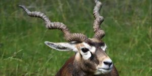 الظباء (Alcelaphinae) - الحيوانات - الحيوانات من الألف إلى الياء