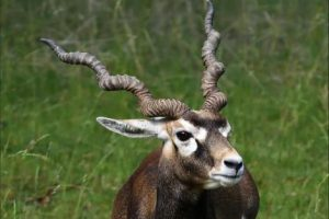 الظباء (Alcelaphinae) – الحيوانات من الألف إلى الياء
