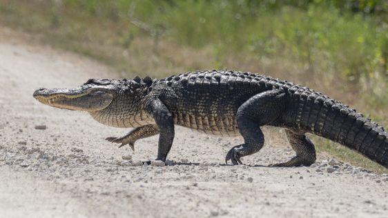 الفرق بين التمساح و القاطور