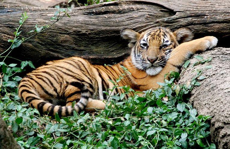 حيوان نمر الملايو