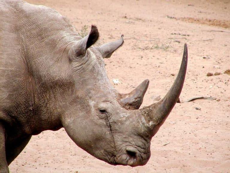 حيوان وحيد القرن