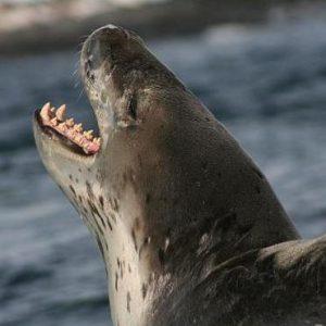 نمر البحر و فقمة النمر الحيوانات البحرية