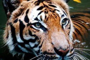 نمر الملايو (Malayan tiger) – الحيوانات