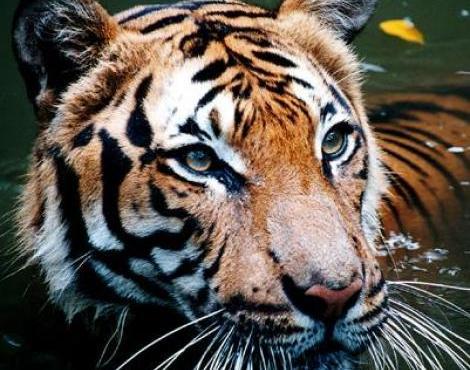 نمر الملايو (Panthera Tigris Jacksoni) - الحيوانات