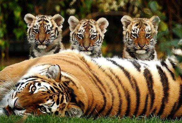 نمر-الملايو