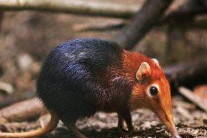 معلومات عن حيوان يرقة الفيل (elephant shrew) – حيوانات برية