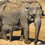الفيل الآسيوي - الوصف والموئل والصورة والنظام الغذائي وحقائق مثيرة للاهتمام