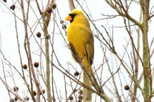 طائر الكاردينال الأصفر النادر