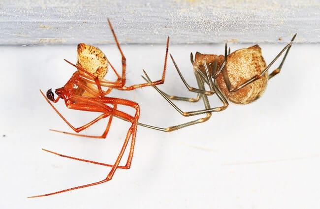 بيت العنكبوت - الوصف ، الموئل ، الصورة ، النظام الغذائي ، وحقائق مثيرة للاهتمام