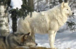 ذئب القطب الشمالي - الوصف والموئل والصورة والنظام الغذائي وحقائق مثيرة للاهتمام