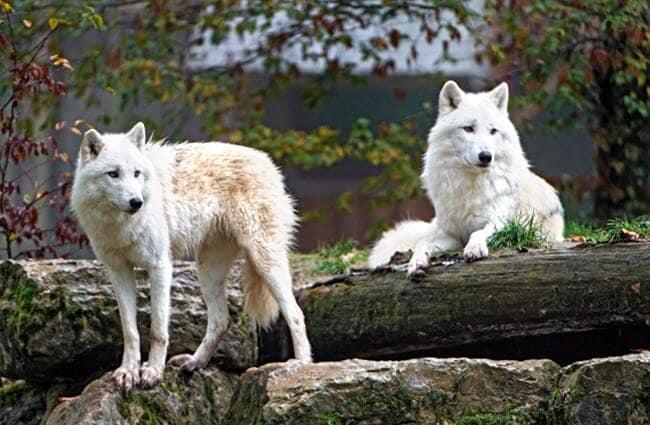 ذئب القطب الشمالي