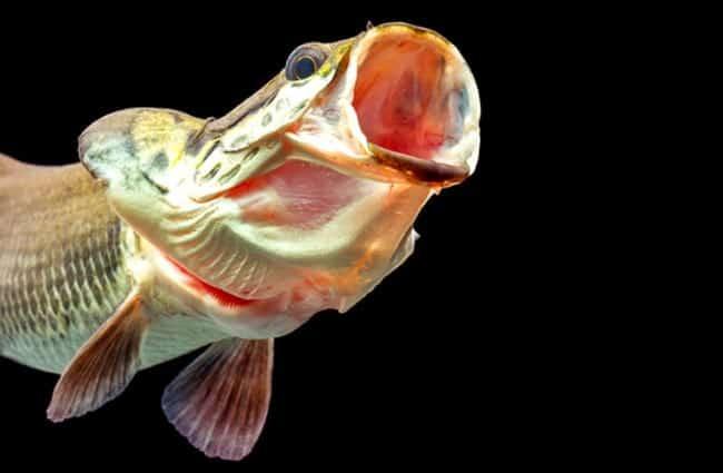 سمكة أربيمة