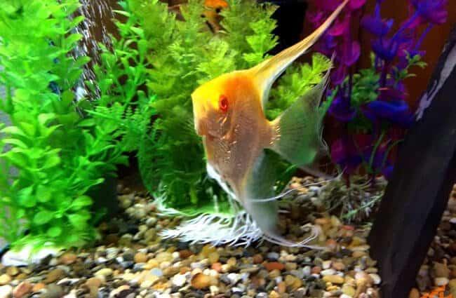 سمكة ملائكية المياه العذبة