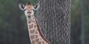 طفلتان من الزرافات ولدتا في حديقة حيوان تارونغا ويسترن بلينز