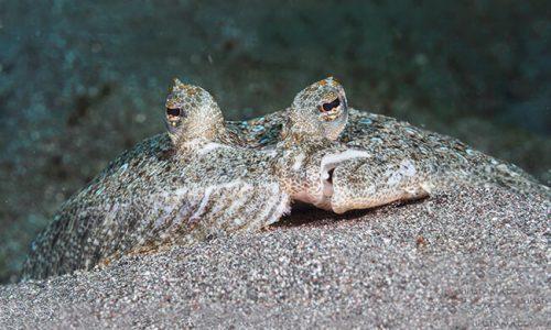 السمك المفلطح الوصف ، الصور ، النظام الغذائي ، والحقائق المثيرة للاهتمام