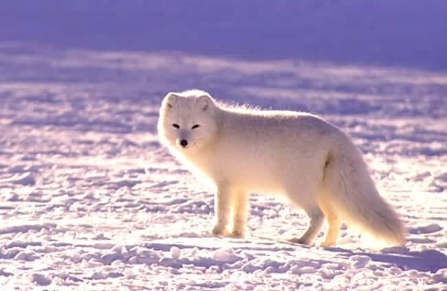 Arctic Fox - الوصف والموئل والصورة والنظام الغذائي وحقائق مثيرة للاهتمام