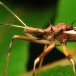 Assassin Bug - الوصف والموئل والصورة والنظام الغذائي وحقائق مثيرة للاهتمام