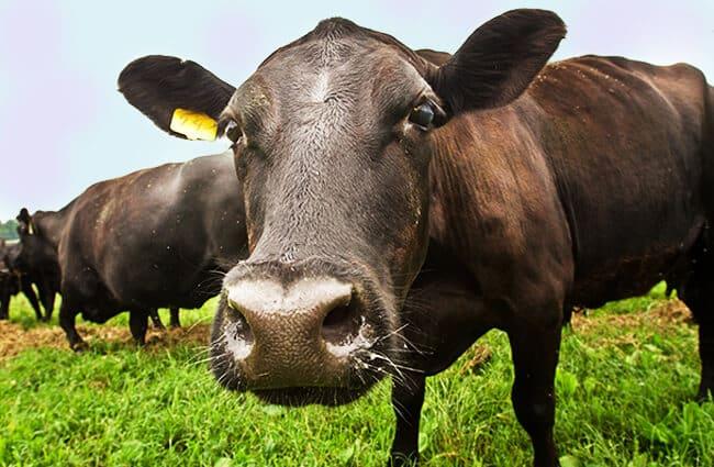 Black Angus - الوصف ، الموئل ، الصورة ، النظام الغذائي ، وحقائق مثيرة للاهتمام