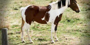 Paint Horse - الوصف ، الموئل ، الصورة ، النظام الغذائي ، وحقائق مثيرة للاهتمام